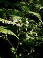 Saxifraga rotundifolia002.jpg