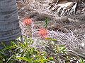 Scadoxus multiflorus 0015.jpg