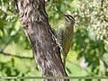 Scaly-bellied Woodpecker (Picus squamatus) (48659648803).jpg
