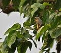 Scarlet Minivet (Pericrocotus speciosus) - female at Jayanti, Duars, West Bengal W Picture 408.jpg