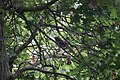 Schiermonnikoog - Merel (Turdus merula).jpg