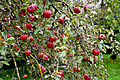 Schmalegg Apfelbaum.jpg