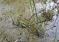 Schoenoplectus lacustris kz06.jpg