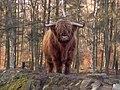 Schottisches Hochlandrind-Bulle.jpg
