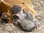 Schwein Pinselohrschwein 0509011.jpg