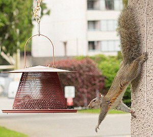 Squirrel - Reaching out for food on a garden bird feeder, this squirrel can rotate its hind feet, allowing it to descend a tree head-first.