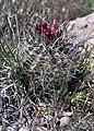 Sclerocactus spinosior fh 69 9 UT B.jpg