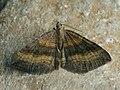 Scotopteryx chenopodiata - Shaded broad-bar - Линейчатая пяденица жёлто-бурая (27086778558).jpg