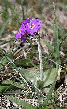 Scottish Primrose (Primula scotica) - geograph.org.uk - 834076