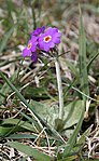 Scottish Primrose (Primula scotica) - geograph.org.uk - 834076.jpg