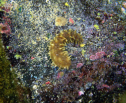 250px-Sea_cucumber_in_kona.jpg