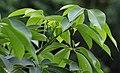 Semal (Bombax ceiba) leaves in Kolkata W IMG 9724.jpg