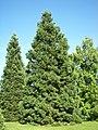Sequoiadendron giganteum Marburg 007.jpg