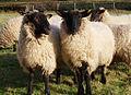 Sheep Study 4.jpg