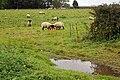 Sheep at Croxby Top - geograph.org.uk - 591505.jpg