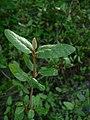 Shepherdia canadensis 38924.JPG