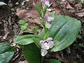 Showy orchis.JPG