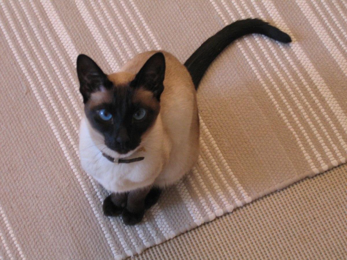 แมวไทย - วิกิพีเดีย
