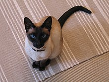 Siamese cat sitting.jpg