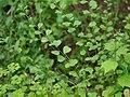 Sida alnifolia var. alnifolia (7980262837).jpg
