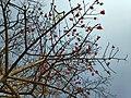 Simal tree.jpg