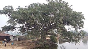 Kumai (village) - Oldest Tree at Singrahi Pokhar