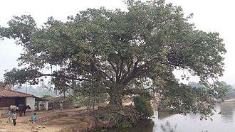 Kumai (village) - Oldest Tree at Singrahi Pokhar