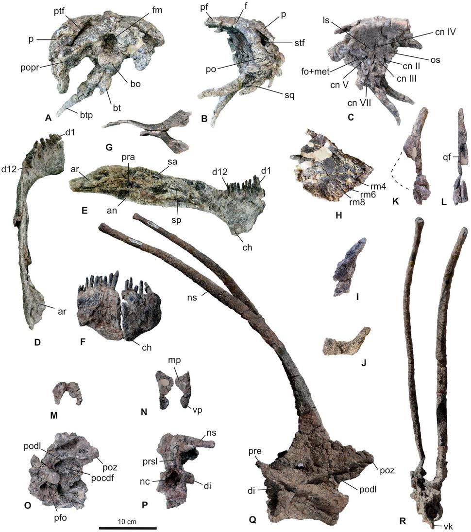 Skeletal elements of Bajadasaurus