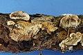 Skeletocutis lilacina 850718.jpg