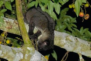 Small-toothed palm civet species of mammal