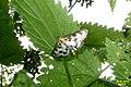 Small magpie (RLs) (30357021124).jpg