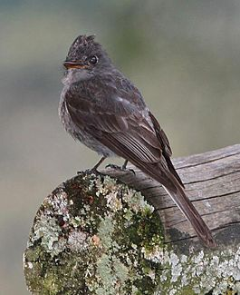 Smoke-colored PeWee.jpg