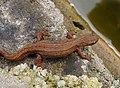 Smooth Newt. Lissotriton vulgaris (32881598500).jpg