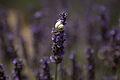 Snail shell and Lavender.jpg