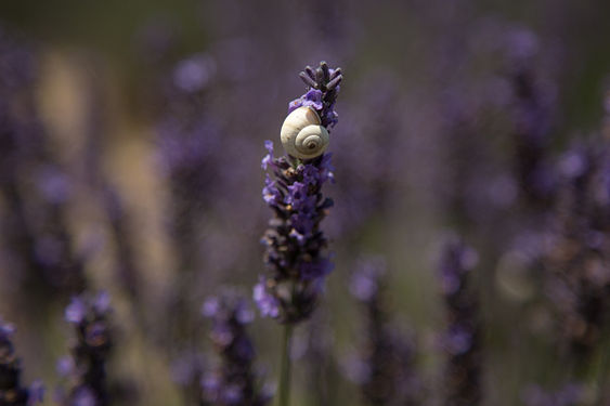 Snail shell and Lavender.jpg