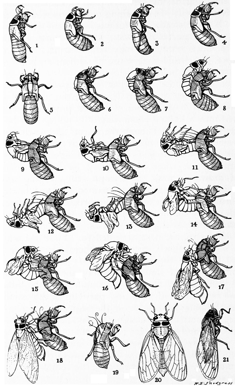 Snodgrass periodical cicada transformation
