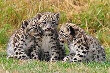 Piccoli di leopardo delle nevi al Cat Survival Trust di Welwyn (Regno Unito).