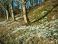 Snowdrops - geograph.org.uk - 338188.jpg