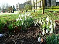 Snowdrops in St. Bartholomew's churchyard - geograph.org.uk - 1149926.jpg