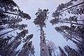 Snowy pines in Lapland (Unsplash).jpg