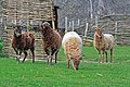 Soay sheep at Cranborne Ancient Technology Centre.jpg