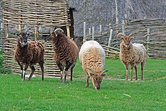 Soay sheep - Soay sheep of varied colours