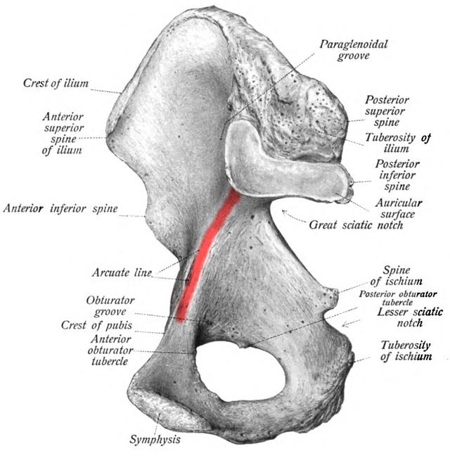 Arcuate line of ilium - Wikiwand