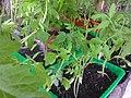 Solanales - Solanum lycopersicum - 7.jpg