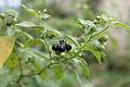 Solanum nigrum Nep.jpg