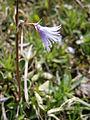 Soldanella alpina 002.jpg