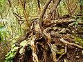 Sonchus palmensis (Los Tilos) 06.jpg