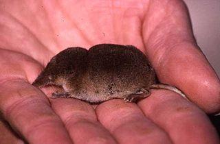 Crowned shrew Species of mammal