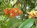 Sorrowless tree Saraca asoca Jardin botanique de Peradeniya Kandy.JPG
