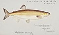 Southern Pacific fishes illustrations by F.E. Clarke 24.jpg